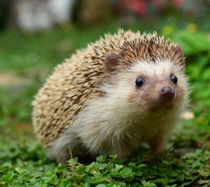 hedgehog wildlife