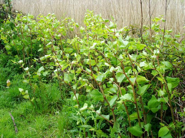 common weeds Japanese knotweed