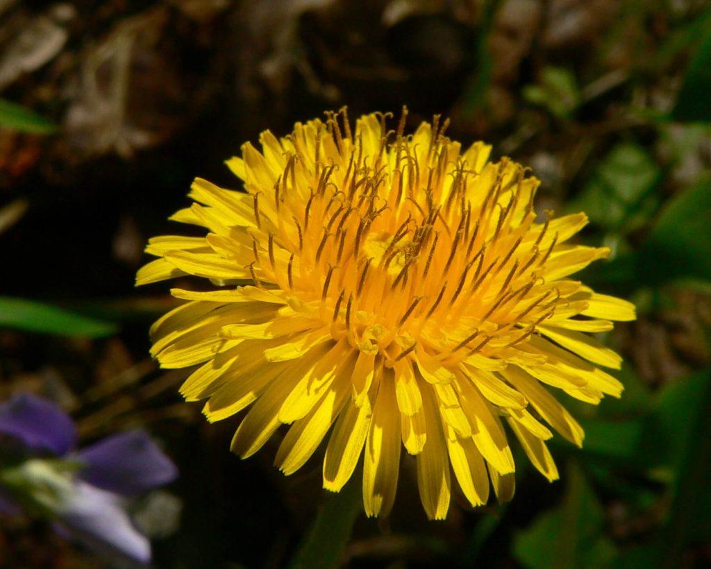 common weeds dandelion