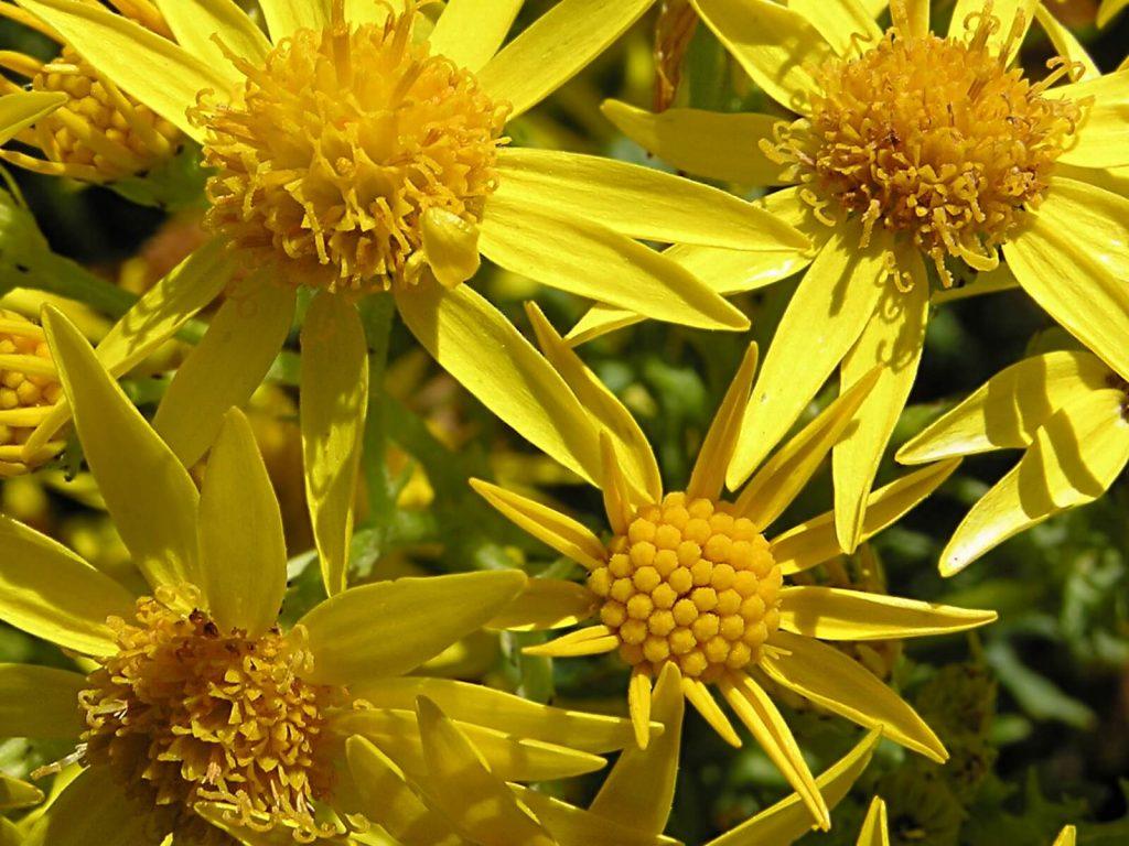 common weeds ragwort