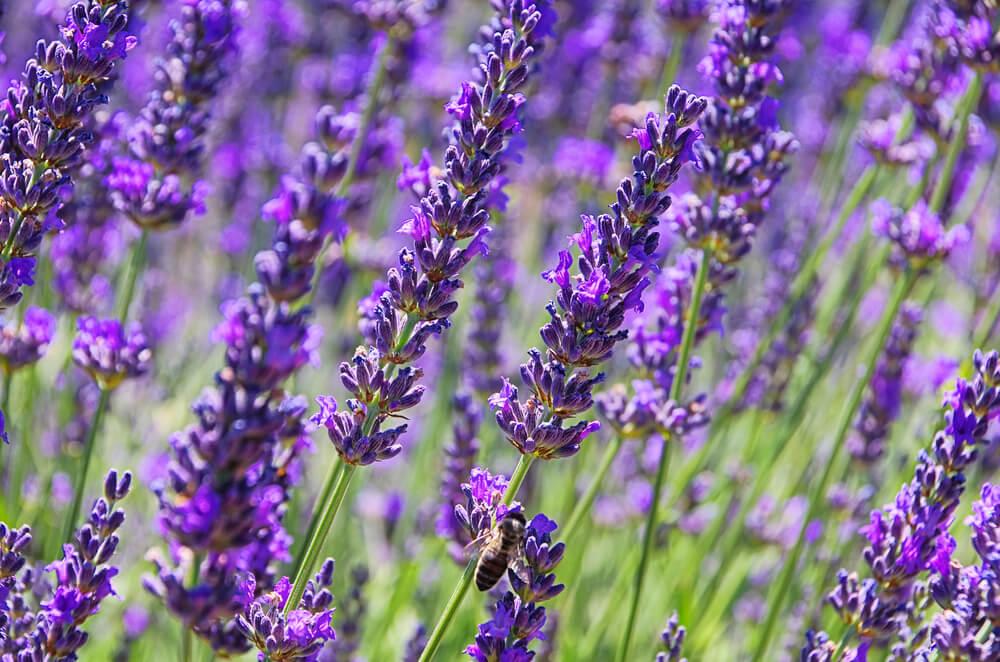 cottage style garden lavender