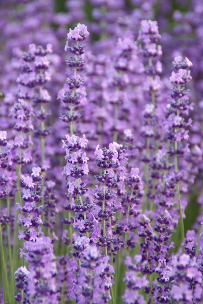 Garden Landscaping lavender